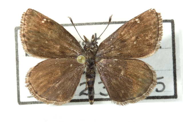 Image of Saltbush Sootywing