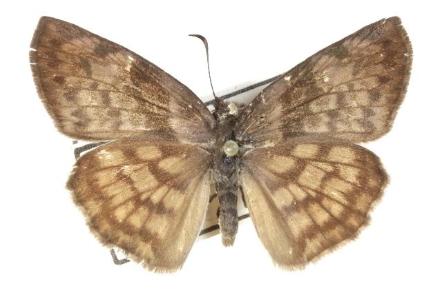 Image of <i>Timochares ruptifasciata</i> Plötz 1884