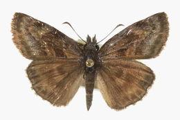 Image of <i>Gesta invisus</i> (Butler & H. Druce 1872)