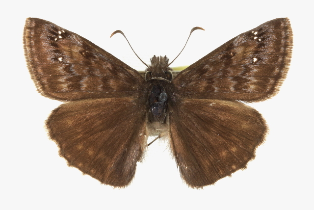 Image of Scudder's Duskywing