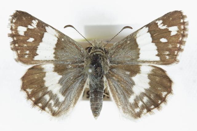 Image of Erichson's White-Skipper