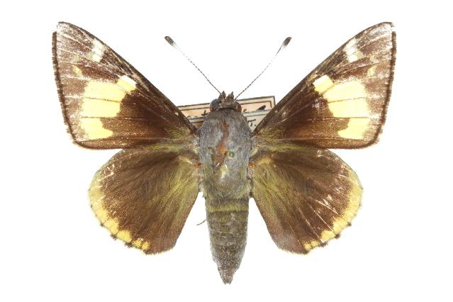 Image of <i>Megathymus cofaqui</i> Strecker 1876