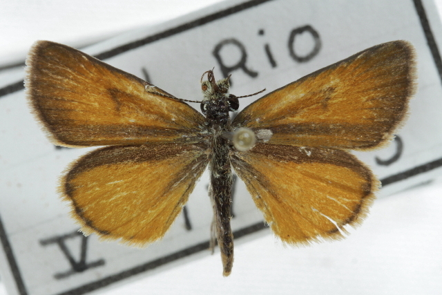 Image of Tropical Least Skipper