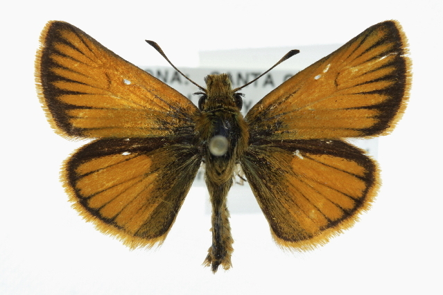 Image of Sunrise Skipper