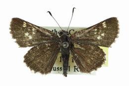 Image of <i>Amblyscirtes hegon</i>