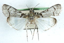 Image of <i>Macalla phaeobasalis</i> Hampson 1916
