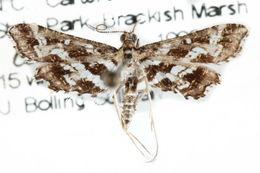 Image of <i>Diasemiopsis leodocusalis</i>