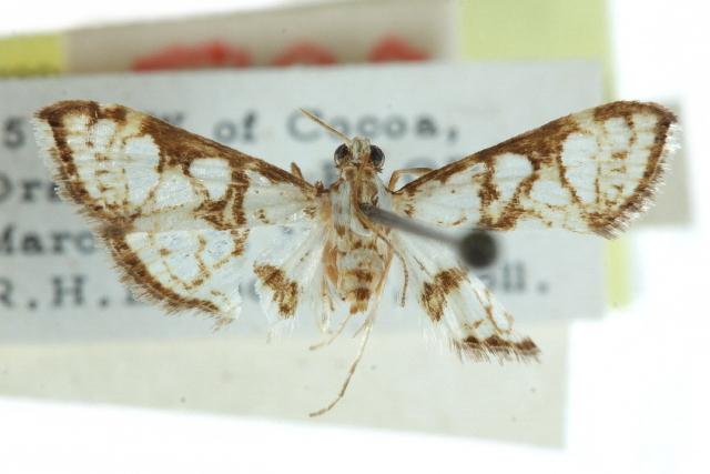 Image of <i>Glyphodes floridalis</i>