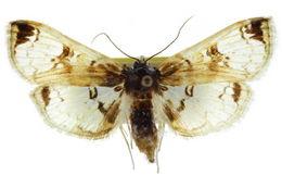 Image of <i>Compacta hirtaloidalis</i>