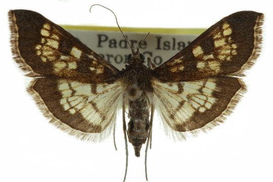 Image of <i>Diacme phyllisalis</i> Walker 1859