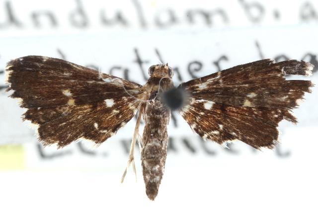 Image of <i>Undulambia polystichalis</i> Capps 1965