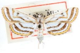 Image of <i>Parapoynx curviferalis</i> Walker 1865