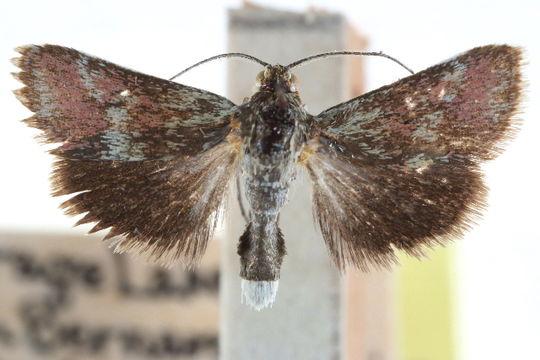 Image of <i>Porphyrorhegma fortunata</i> Munroe 1961
