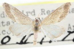 Image of <i>Cymbopteryx fuscimarginalis</i> Munroe 1961