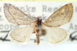 Image of <i>Cymbopteryx unilinealis</i> Barnes & Mc Dunnough 1918