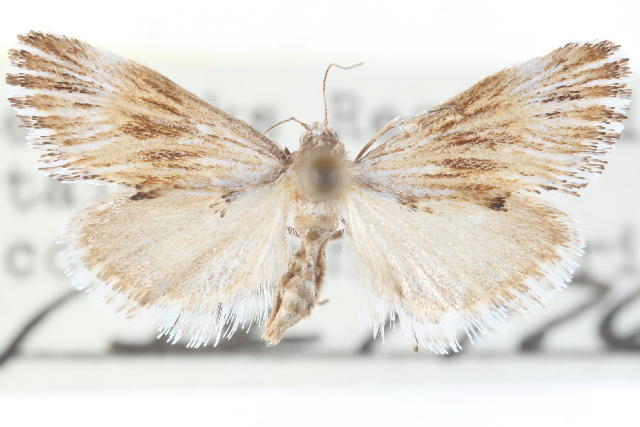 Image of <i>Edia minutissima</i> Smith 1905