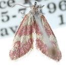 Image of <i>Dichozoma parvipicta</i> Barnes & Mc Dunnough 1918