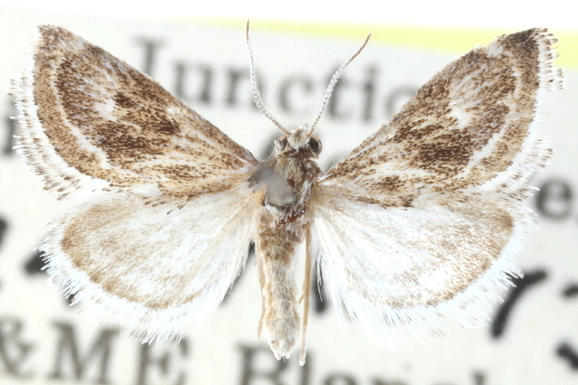 Image of <i>Frechinia laetalis</i> Barnes & Mc Dunnough 1914