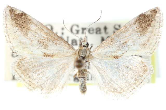 Image of <i>Frechinia lutosalis</i> Barnes & Mc Dunnough 1914