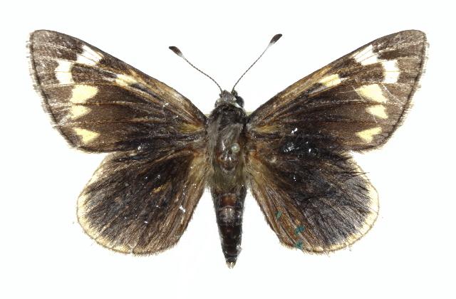 Image of Strecker's Giant-skipper