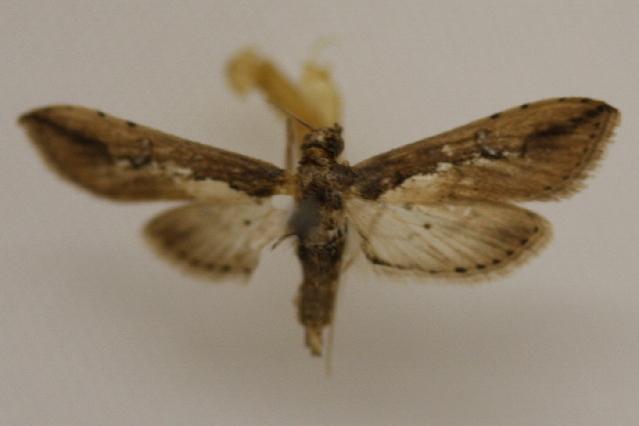 Image of <i>Ercta vittata</i> Fabricius 1794