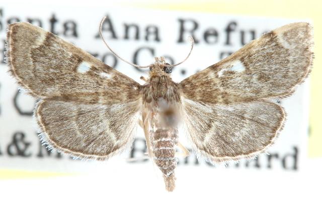 Image of <i>Bicilia iarchasalis</i>