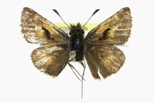 Image of Mardon skipper
