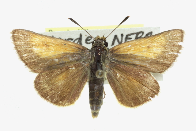 Image of Arogos Skipper