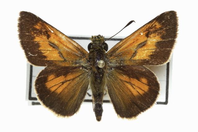 Image of Yehl Skipper