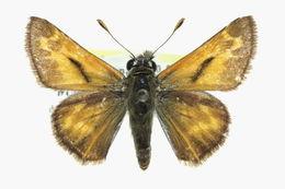 Image of <i>Stinga morrisoni</i> Edwards 1878