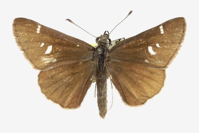 Image of <i>Atrytonopsis deva</i> Edwards 1876
