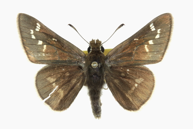 Image of Dusted Skipper