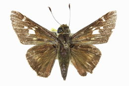Image of <i>Nyctelius <i>nyctelius</i></i> ssp. nyctelius