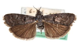 Image of <i>Tulsa umbripennis</i> Hulst 1895