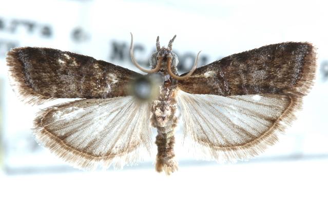 Image of <i>Ulophora groteii</i> Ragonot 1890