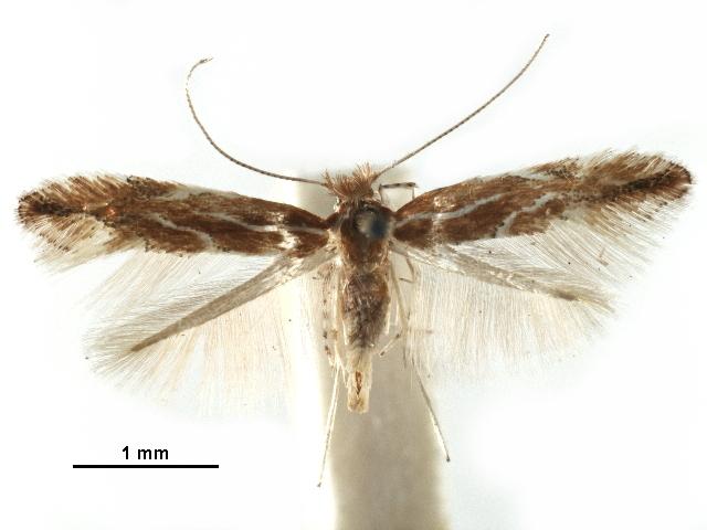 Image of <i>Phyllonorycter betulae</i>