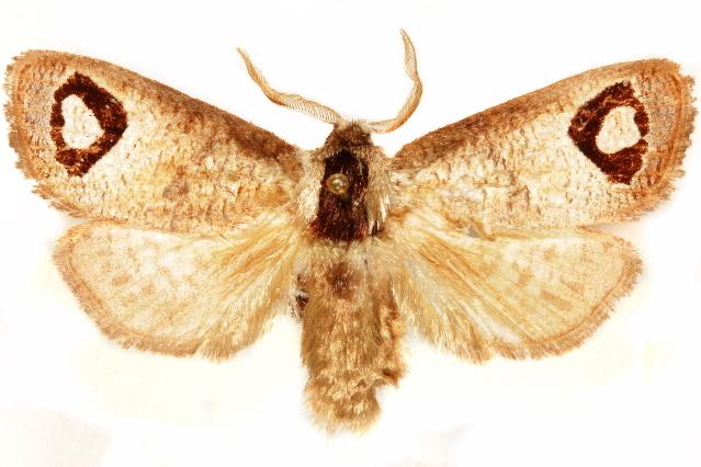 Image of Cossulinae