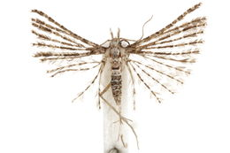 Image of Pterotopteryx