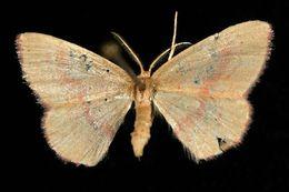 Image of <i>Cyclophora culicaria</i> Guenée 1857