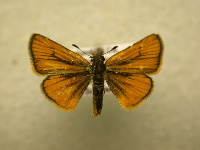 Image of Copaeodes