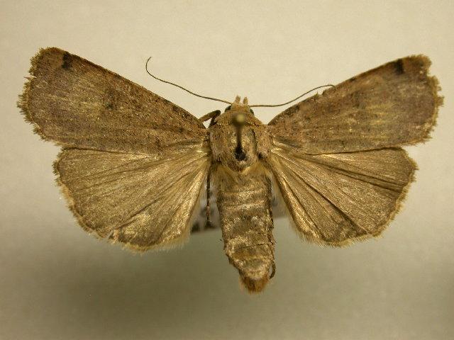 Image of <i>Abagrotis magnicupida</i> Lafontaine 1998