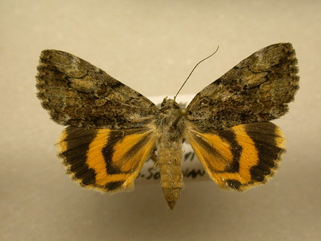 Image of Little Nymph Underwing