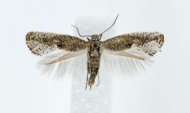 Image of <i>Tinagma californicum</i> Gaedicke 1990