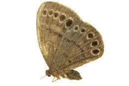 Image of Eunogyra