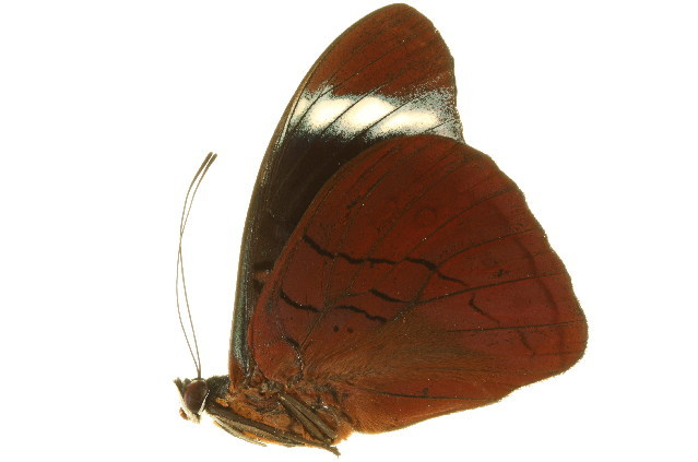 Image of Panacea