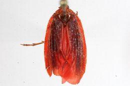 Image of Achilinae