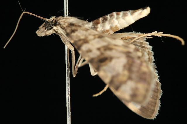 Image of <i>Dysallacta negatalis</i> Walker 1859