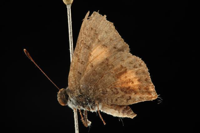 Image of <i>Paralucia pyrodiscus</i> (Rosenstock 1885)