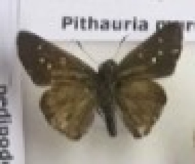 Image of Pithauria