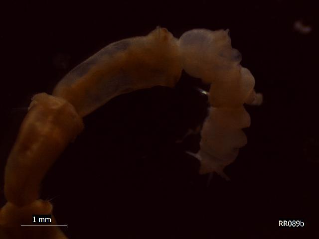 Image of <i>Axiothella constricta</i> (Claparède 1868)